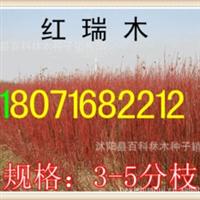 出售:红瑞木3-5分枝红王子锦带(货到付款)