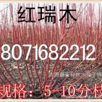 低价出售:红瑞木5-10分枝红瑞木小苗1百万株现场看货定苗