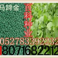 供应:马蹄金种子(保质保量货到付款)