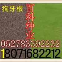 供应狗牙根草种(阿里旗舰店货到付款)