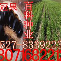 出售:文冠果种子(阿里旗舰店货到付款)