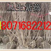 低价供应丛生紫薇2-8分支(货到付款)