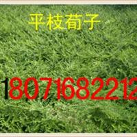 出售平枝荀子20-120cm(货到付款)