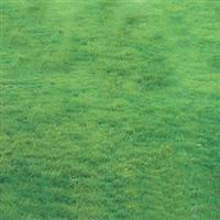 江苏厂家供应天堂草坪马尼拉草坪高羊茅草坪草坪批发价格低