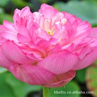 低价荷花莲花、水芙蓉、六月花神、藕花水生花卉