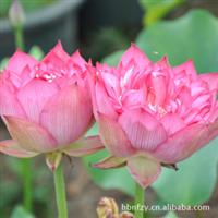 苗圃直销。蔷薇。荷花,又名莲花、水芙蓉,清新优雅水生花卉