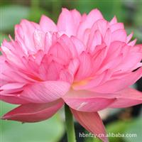 长期批发供应出售非常漂亮的庭院盆栽睡莲种水生花卉