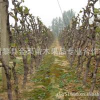 葡萄树、占地树