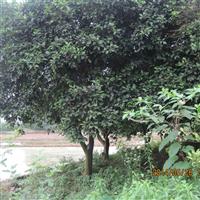特价供应15cm全冠香泡树