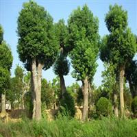 武汉香樟树,黄石香樟价格