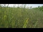 供应一二年生沙柳苗 柽柳苗