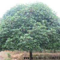 湖南绿化苗木花木八月桂