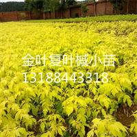 金叶复叶槭扦插小苗