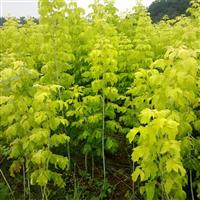 金叶复叶槭工程苗价格
