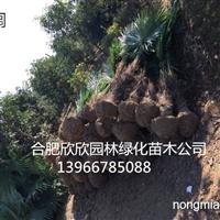 供应棕榈、安徽棕榈价格、棕榈供应商