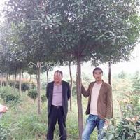 安徽供应高杆红叶石楠树、高杆红叶石楠价格、高杆红叶石楠基地