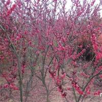 供应碧桃1-15公分、红叶桃价格