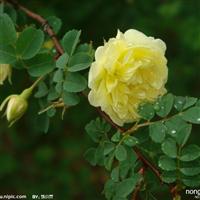 山东大花蔷薇|青州蔷薇价格|山东四季玫瑰|青州月季基地