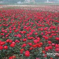 两年生月季|山东月季基地|潍坊月季|青州月季批发基地