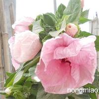 大花秋葵,优质的大花秋葵基地,锦葵,蜀葵基地