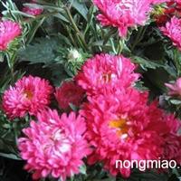 哪里有卖翠菊的啊山东青州济南青岛天津北京秦皇岛菏泽莱芜