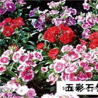 草花价格|宿根花卉价格|婆婆纳价格山东宿根花卉|青州宿根花卉