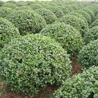 优质苗木供应 枸骨 紫藤 苦楝