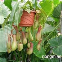 供应 猪笼草、猪笼草小苗、猪笼草工程苗