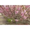 山东樱花树
