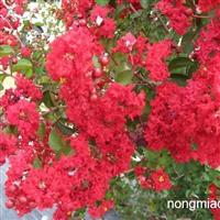 红火箭紫薇价格红火箭紫薇小苗红火箭紫薇种子