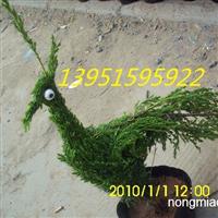 白三叶种子价格红三叶行情杂三叶供应信息三叶草的种植方法