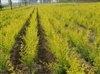 榆树地径0.8-1公分的榆树苗上车2毛5,数量500万株!