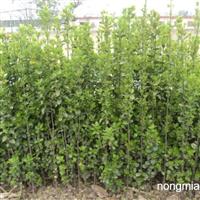 烟台绿化苗木烟台绿化苗木价格烟台绿化苗木基地