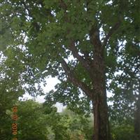 出售东北乔木蒙古栎、水曲柳、白桦,树型美观