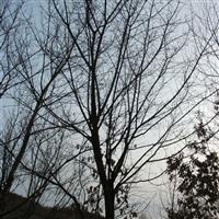 出售东北乔木五角枫、元宝枫,树型美观
