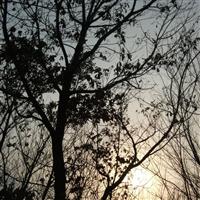 出售山槐、五角枫、白桦、蒙古栎、山丁子