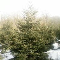 吉林白山大量云杉、樟子松1---5米,树形好
