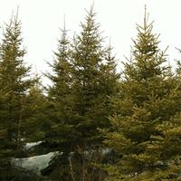 吉林热销云杉1--5米,树形好,落地冠