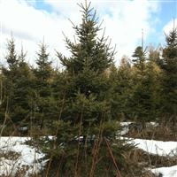大量销售云杉1--6米,樟子松2--5米,九角枫五角枫蒙古栎