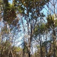 热销云杉、九角枫、蒙古栎、五角枫等,单株丛生,树好