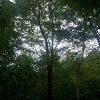 热销云杉、樟子松、蒙古栎、元宝枫、九角枫、五角枫等