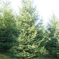 秋季销售云杉0.5---7米,五角枫、蒙古栎、九角枫、白桦