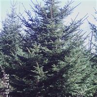 秋季热销云杉、九角枫、蒙古栎、五角枫、白桦单株、丛生