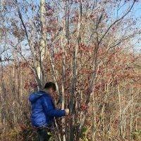 云杉、五角枫、九角枫、蒙古栎、拧筋槭、水曲柳等单株、丛生