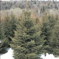 五角枫、蒙古栎、九角枫、云杉、白桦等东北乔木。