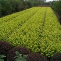 江苏常州供应自产色块苗,常青藤,连翘,云南黄馨,爬山虎等