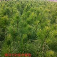 大量出售H40公分―H3.5米黑松、湿地松