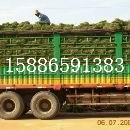 湖南草皮价格信息【湖南草皮供应商】草皮图片