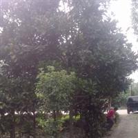 长期供应9公分广玉兰,成都广玉兰,广玉兰价格,广玉兰图片