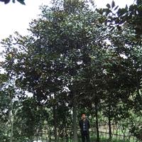 供应16公分广玉兰,成都广玉兰价格图片,千蜀园林